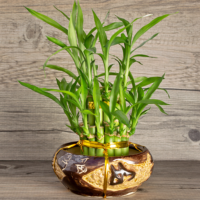 8 Facts You Should Know About Lucky Bamboo If You Are Thinking Of
